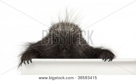 Portrait of North American Porcupine, Erethizon dorsatum, also known as Canadian Porcupine or Common Porcupine getting out of box, e against white background stock photo