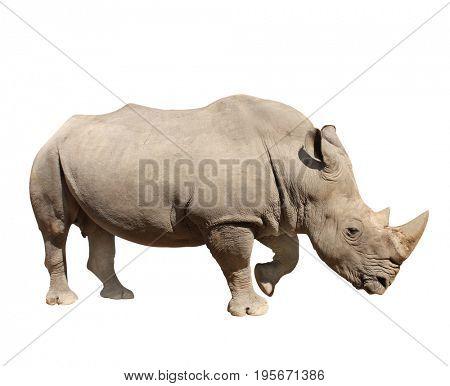 White rhinoceros (square-lipped rhinoceros, Ceratotherium simum). Isolated on white background stock photo