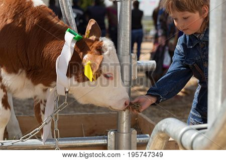 child feeds brown calf. stock photo