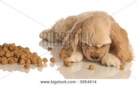 american cocker spaniel puppy eating dog food isolated on white background stock photo