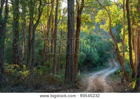 Glow of late afternoon sunlight through dense Eucalyptus forest foliage along winding gravel trackthrough small gully Cowaramup Western Australia stock photo