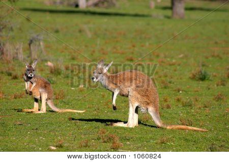 two young kangaroos at australian flinders ranges stock photo