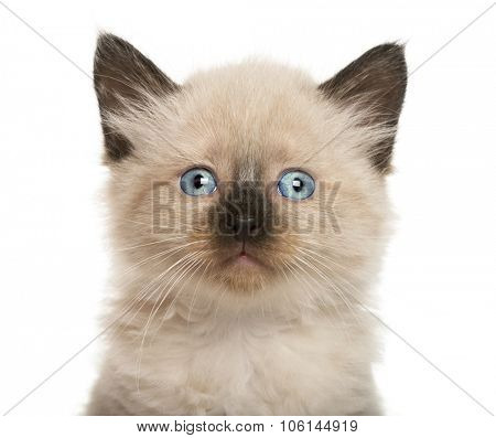 Close-up of a Kitten in front of white background