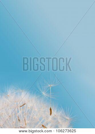 Dandelion flower seeds against blue sky background