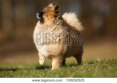Pomeranian Dog Outdoors In Nature