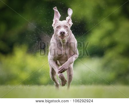 Purebred Weimaraner Dog Outdoors In Nature