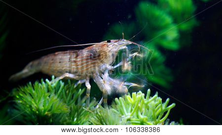 Shrimp of the genus Atiopsis. Amazingly beautiful kistepalaya shrimp. Freshwater lives in aquariums. Open umbrella filters water, foraging. These shrimp also called filter feeders stock photo