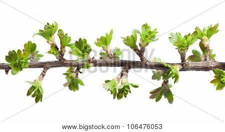Twig of blackberry and gooseberry hybrid (Ribes nidigrolaria) twig isolated on white stock photo