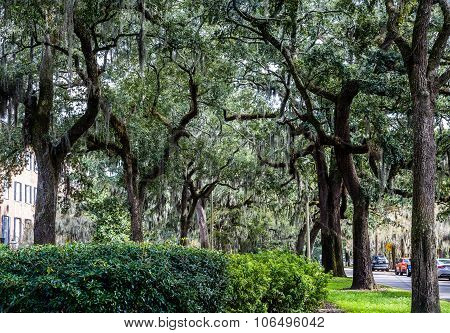 Oaks And Spanish Moss On Side Of Road