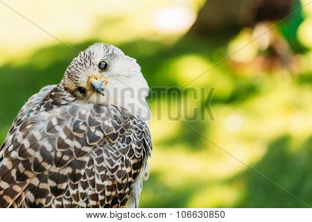 Hybrid Gyrfalcon and Saker falcon. In captivity, lanners and sakers can interbreed, and gyrfalcon-saker hybrids are also available stock photo