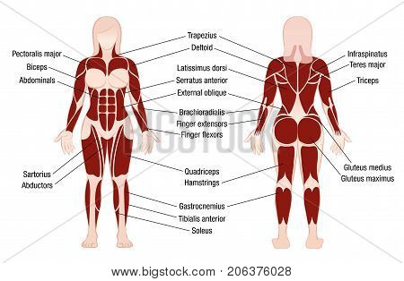 Muscle chart with accurate description of the most important muscles of the female body - front and back view - isolated vector illustration on white background. stock photo