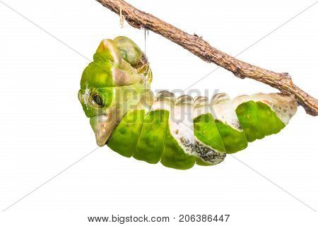 Close up of Great Mormon (Papilio memnon) caterpillar prepares itself for pupation isolated on white background with clipping path stock photo