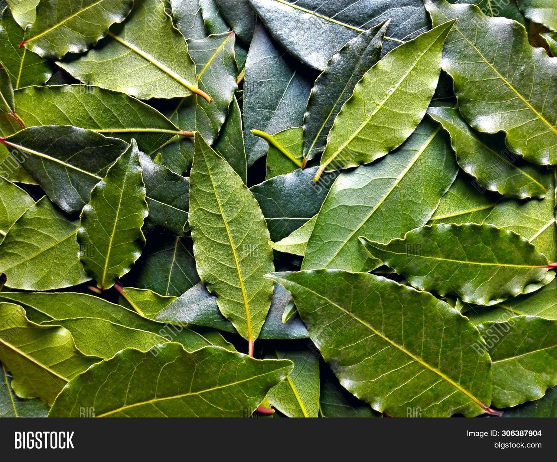 Bay Leaf Or Laurel (laurus Nobilis) Pattern Texture Background. Organic Fresh Green Bay Leaves From