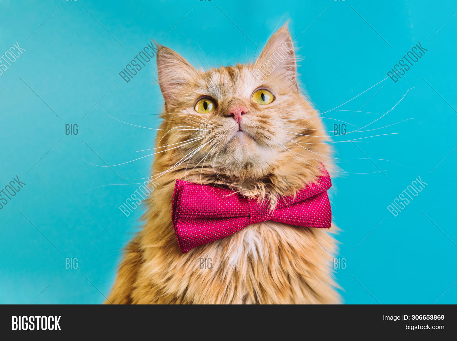 Red Cat With Pink Bowtie Front View. Gentleman-like Fluffy Domestic Animal On Turquoise Background.
