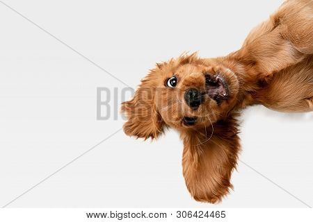 Pure Youth Crazy. English Cocker Spaniel Young Dog Is Posing. Cute Playful White-braun Doggy Or Pet