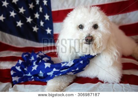 Maltese - Poodle aka Maltepo dog with an American Flag background and scarf. Forth or July with pets concept. Room for text overlay. 4th of July. American Dog with American Flag. stock photo