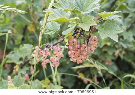 Middle of summer: bush of white currant in a garden stock photo