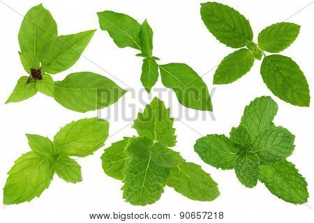 A group of basil and mint leaves isolated on white. Upper row from left to right : Thai sweet basil, Hairy Lemon Basil, Holy basil. Lower row from left to right : Spearmint, Asian Mint, Kitchen Mint stock photo