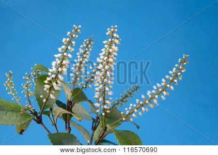 Flowers of New Zealand Weinmannia racemosa commonly called k?mahi an evergreen small shrub to medium-sized tree of the family Cunoniaceae against a blue background. stock photo
