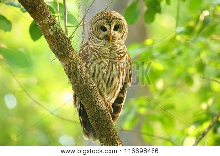 Barred owl (Strix varia) sitting on a tree. Barred owl is best known as the hoot owl for its distinctive call ** Note: Soft Focus at 100%, best at smaller sizes stock photo