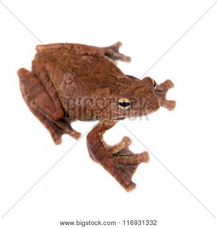 Annam flying frog, Rhacophorus annamensis, isolated on white background stock photo