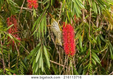 Streaked spiderhunter bird in olive yellow with darker streaks feeding nectar with long curved beak on red bottlebrush flower tree upside down (Arachnothera magna)