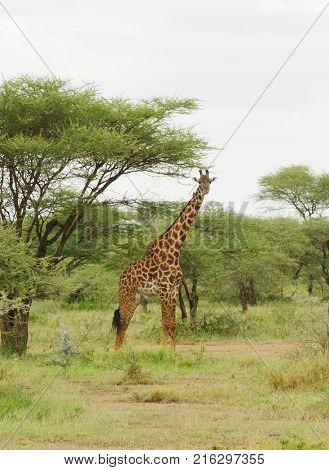 Male Masai Giraffe (scientific name: Giraffa camelopardalis tippelskirchi or