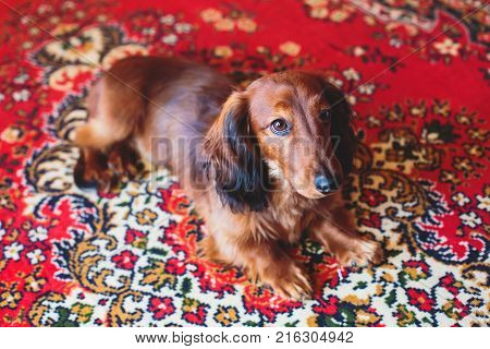 Beautiful Red Long-haired Dachshund portrait summer picture of adult funny dachshund dog stock photo