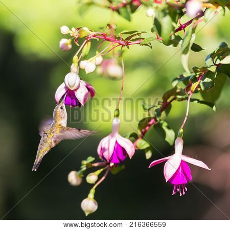 Female Ruby Throated Hummingbird feeding from a hybridized fuchsia in a boreal forest in north Quebec Canada. stock photo