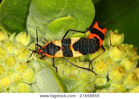 Milkweed bugs (Oncopeltus fasciatus) in a northern Illinois natural area. stock photo