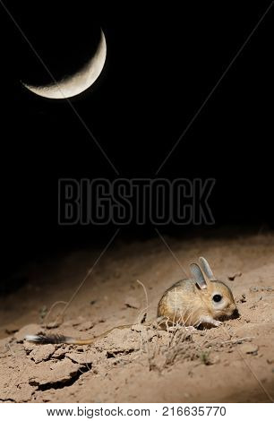Small five-toed jerboa (Allactaga elater) searching for a food at moonlit night in the desert of southern Kazakhstan stock photo
