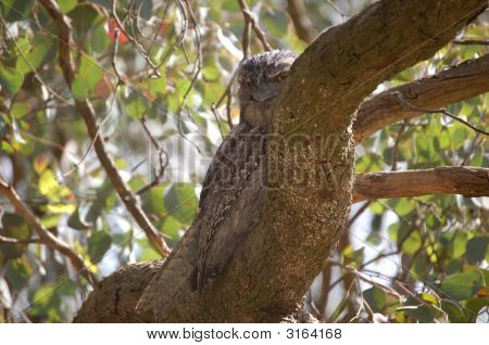 The Tawny Frog mouth is found throughout Australia including Tasmania. It can be seen in almost any habitat type except the denser rainforest's and treeless deserts. stock photo