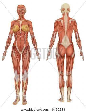 Front and rear view of the female muscular anatomy. stock photo