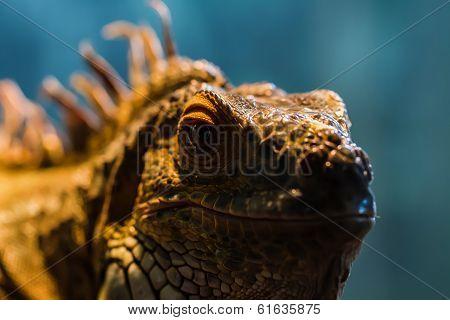 Guana lizard in nature. Iguana in exotic zoo terrarium stock photo