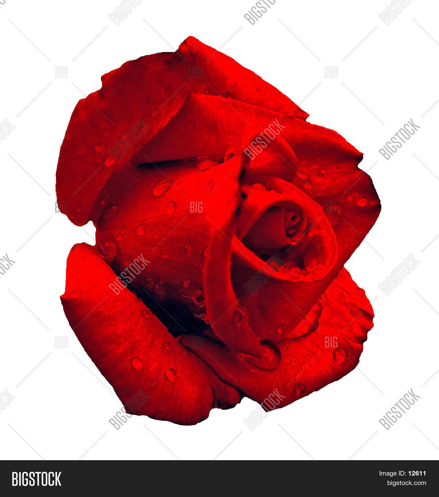 beauty,bud,dew,drops,floral,gift,holiday,love,moist,over white,pedals,red,red rose,red roses,romantic,rose,symbol,valentine's,valentines day,waterdrop,wet