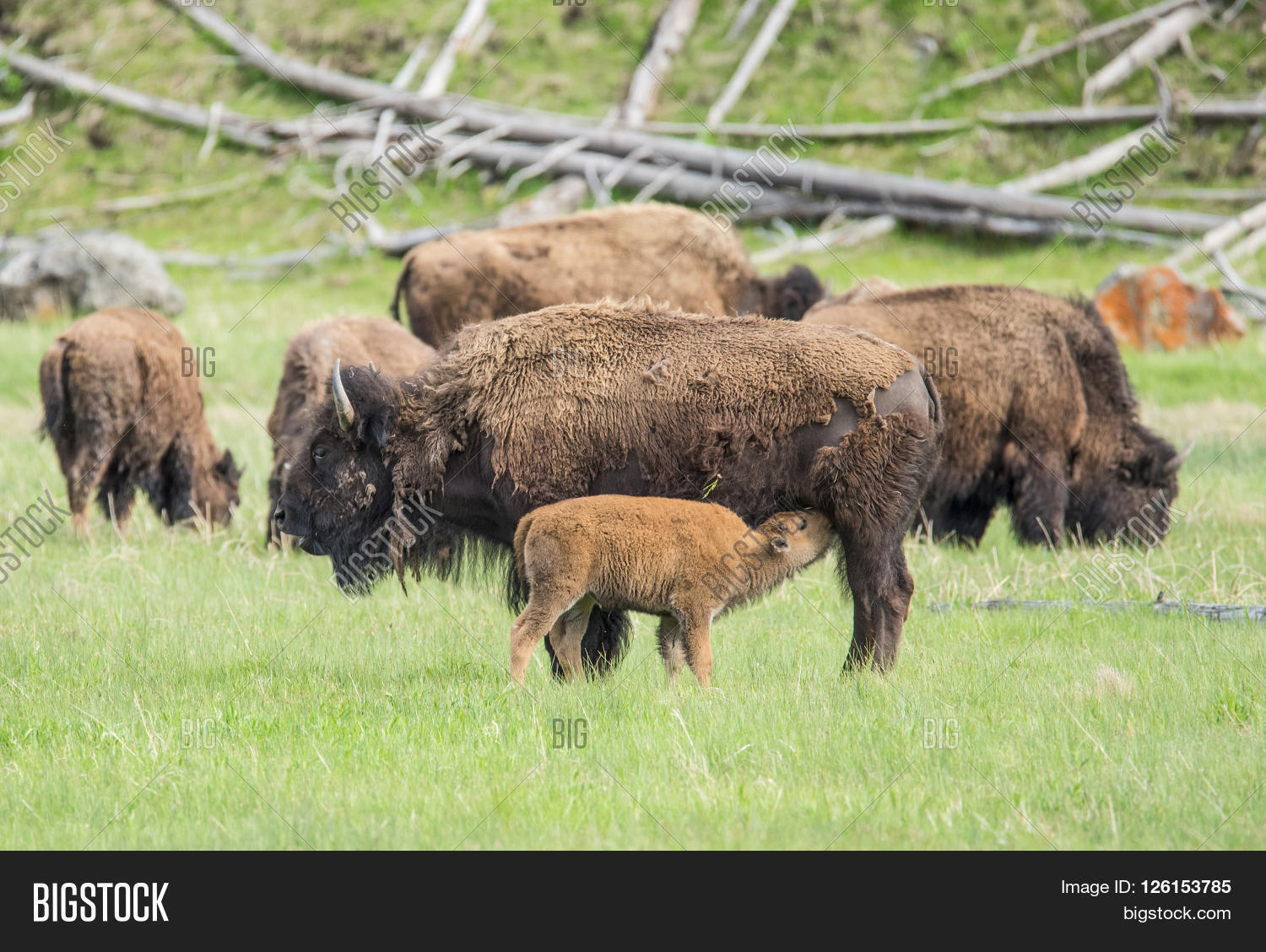 Mother Buffalo Bison Bison Is Nursing Its Baby