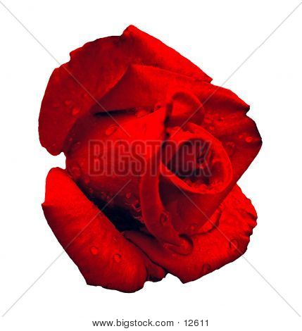 Isolated red rose with raindrops on it. stock photo