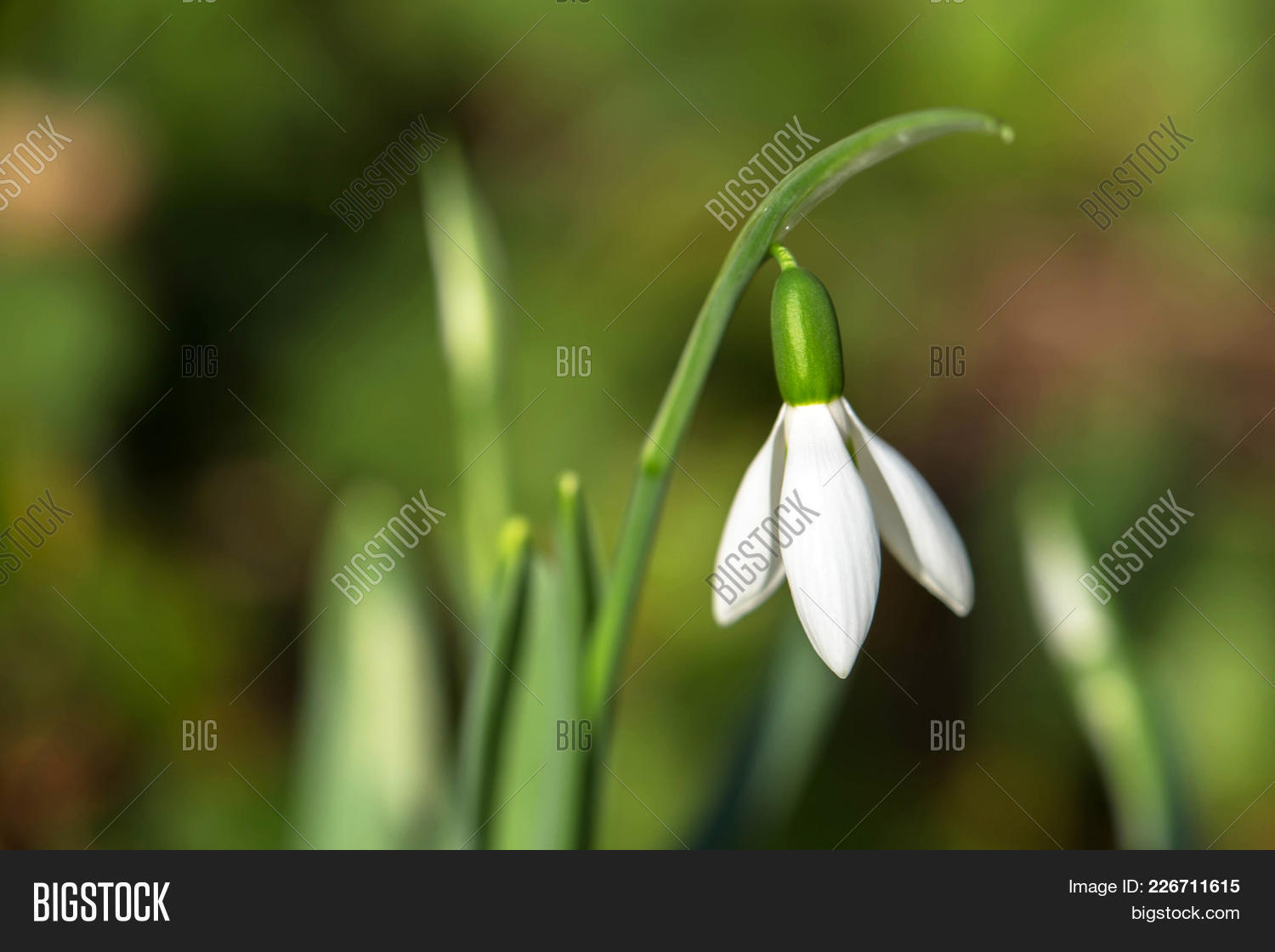background,beautiful,beauty,beginning,bloom,blossom,closeup,concept,february,first,flora,floral,flower,forest,fresh,galanthus,garden,green,leaf,march,natural,nature,petal,plant,season,snow,snowdrop,spring,sun,symbol,thaw,white,winter