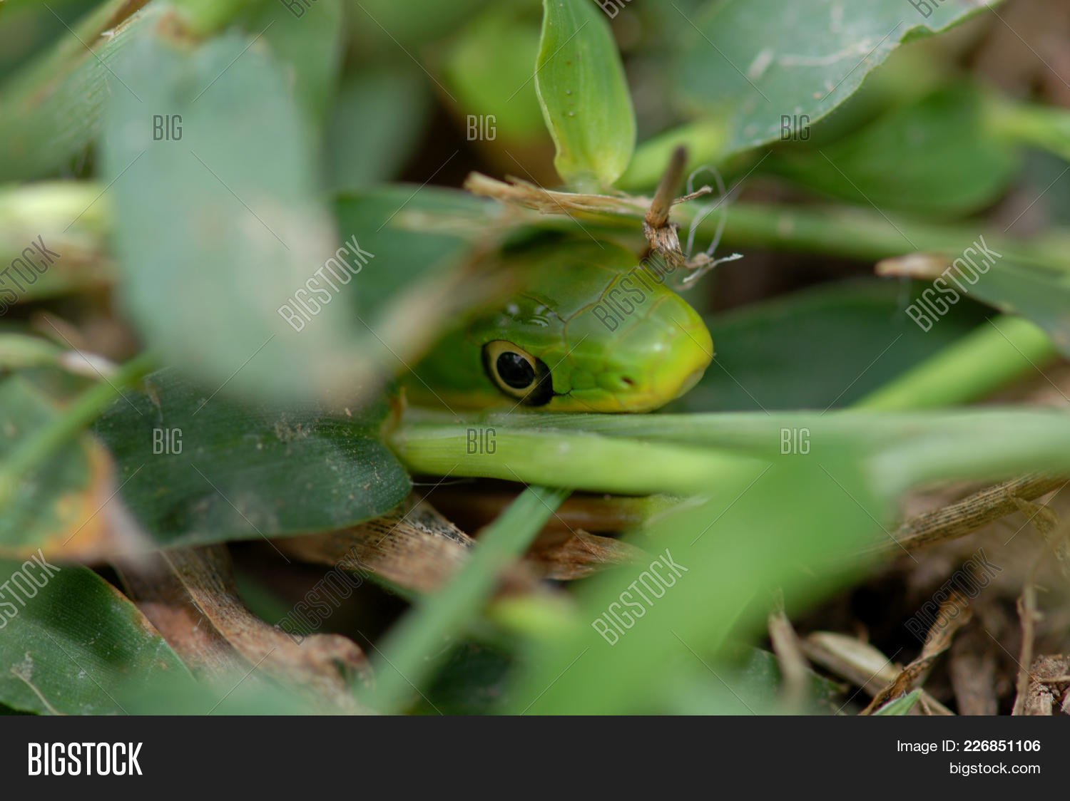 A Small Rough Green Snake Crawling Through The Grass With Only