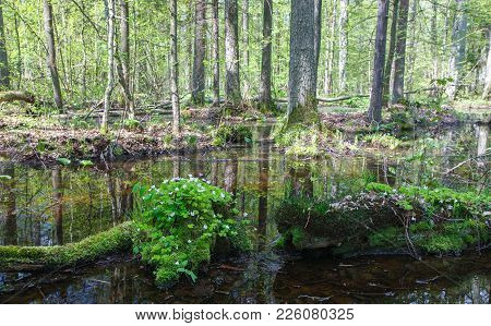 Sunny day springtime deciduous stand  with flowering woodsorrel in foreground, Bialowieza Forest, Poland, Europe stock photo