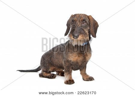 Wire-haired dachshund in front of a white background stock photo