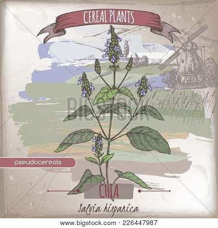 Salvia hispanica aka chia color sketch with field landscape. Cereal plants collection. Great for bakery, agriculture, farming design. stock photo