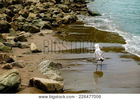 Seagull Strolling on a Sanndy, Rocky Beach, at Aquatic Park, San Francisco, California stock photo