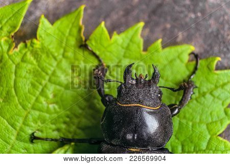 Head with mandibles of female stag beetle on the green leaves. Big insect in the wildlife with view from the top. Limited depth of field. stock photo