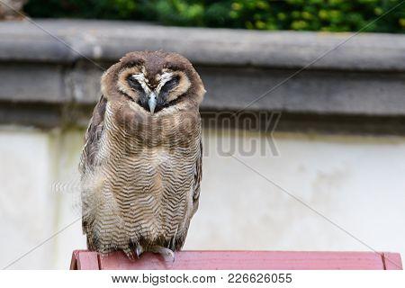 Wonderfull Brown wood owl portrait in Czech Republic stock photo
