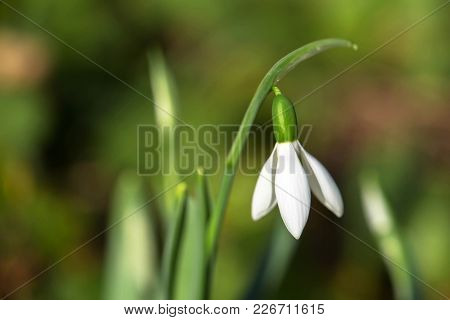 The first spring flower is a snowdrop. Fragile gentle first spring white flower. Snowdrop is a rare flower. Spring background or texture. Macro shot. stock photo