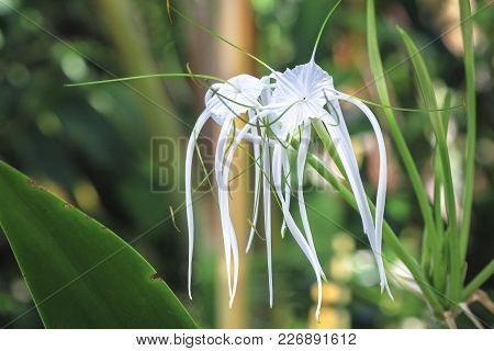 A beach spider lily (Hymenocallis littoralis) with long white petals grows in the jungle in Costa Rica. stock photo