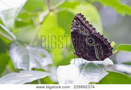 A blue morpho buttefly (Morpho peleides) at rest, hiding its brilliant blue colors. Cahuita National Park, Costa Rica. stock photo