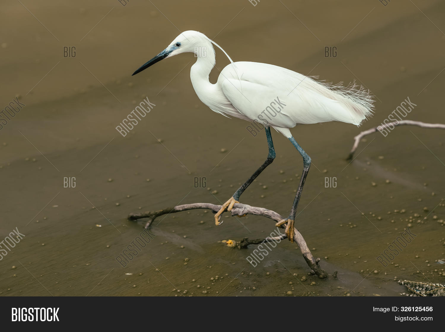 adult,animal,animals,aquatic,ardeidae,avian,background,beak,beautiful,beauty,bird,birds,birdwatching,cocoi,common,egret,fauna,feather,feathers,fishing,great,green,grey,heron,lake,large,natural,nature,neck,ornithology,outdoor,peak,pond,portrait,river,south,standing,swamp,tail,thai,thailand,tropical,wader,wading,water,wetland,white,wild,wildlife,wings