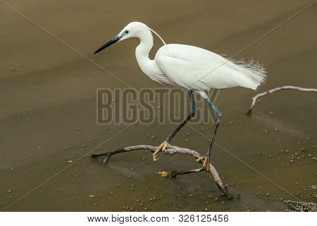 The great egret (Ardea alba), also known as the common egret sitting at branch in the shallow lagoon. stock photo